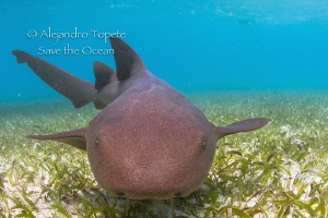 Nurse Shark encounter, San Pedro Belize by Alejandro Topete 